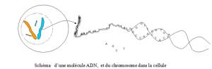 ADN  et chromosome